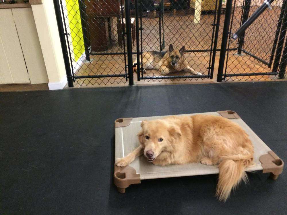 golden retriever training