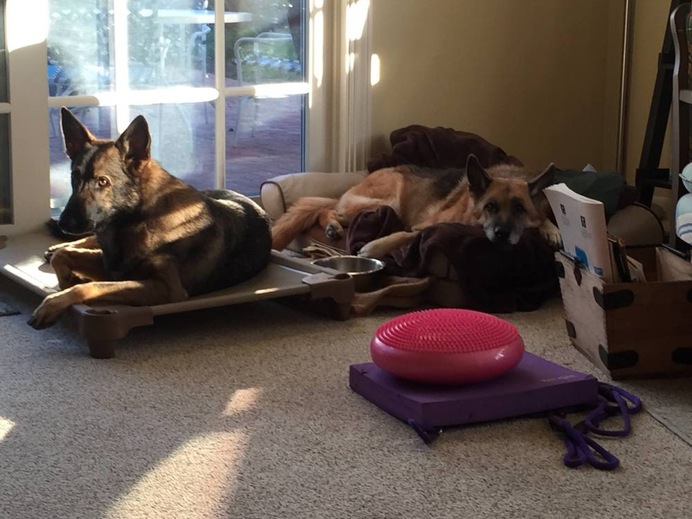 german shepherds relaxing