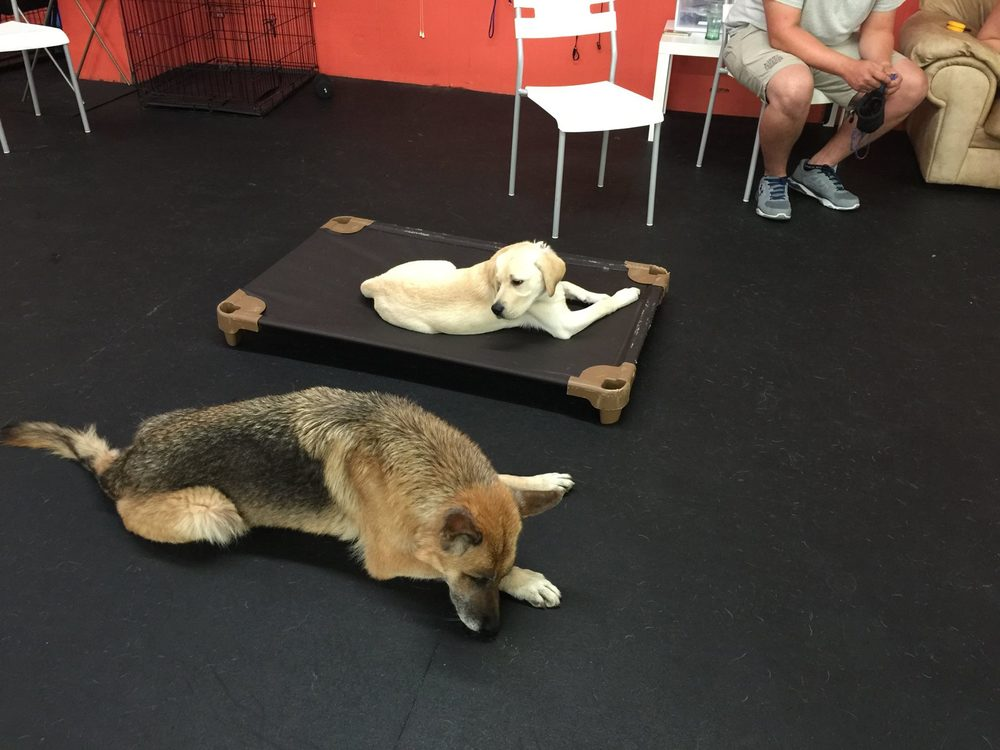 German Shepherd and Labrador training