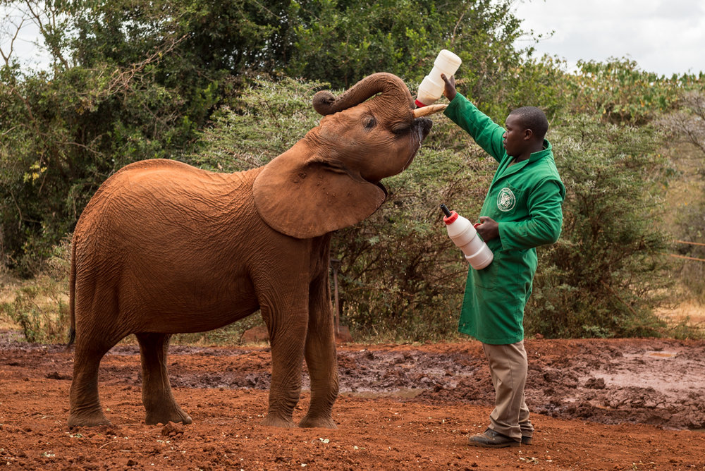 Elephant Drinking Milk.jpg