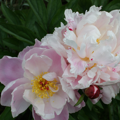 Garden Flowers June 07 028.jpg