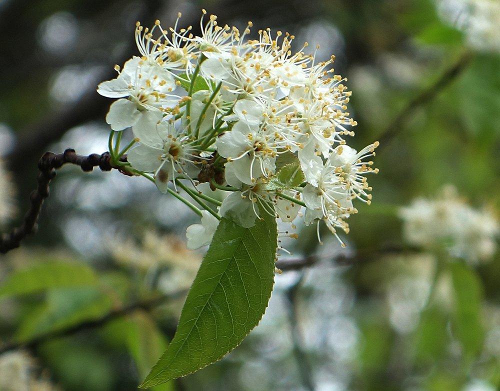 SpringBlossom1crop.jpg