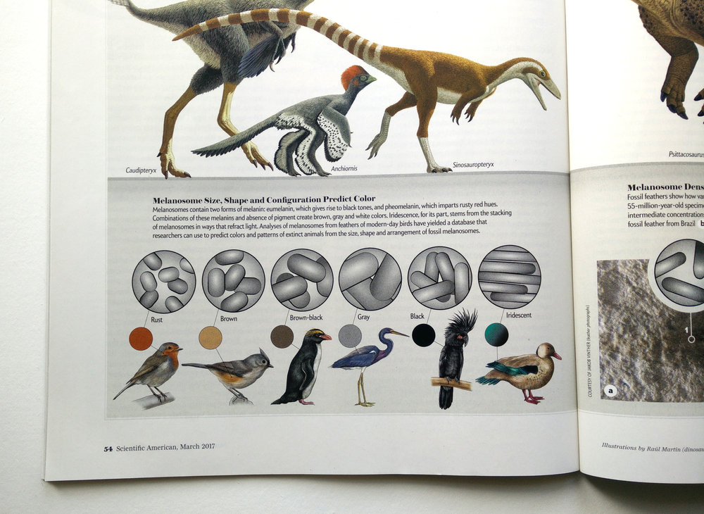 Illustrated bird species linked to dinosaur coloration