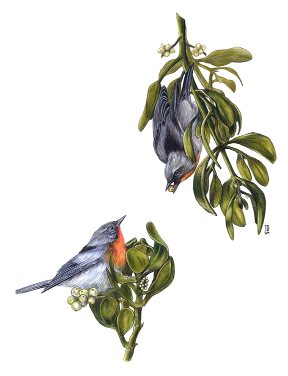 Flame Throated Warblers