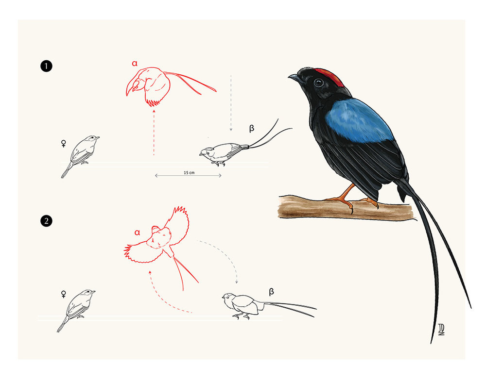 Long-tailed Manakin Courtship Ritual