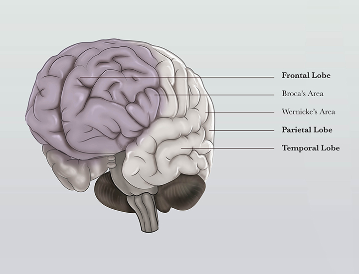 Human Brain Structure