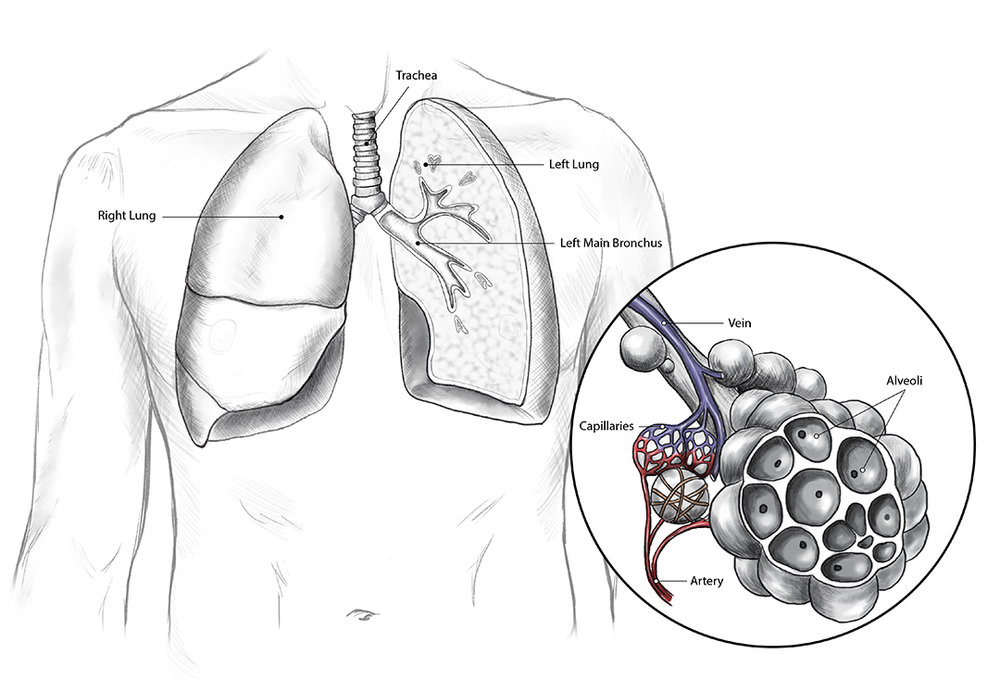 Lungs_Alveoli_Medical_Illustration_JillianDitner.jpg