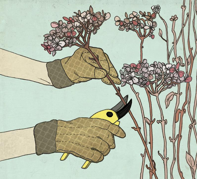 hydrangea_pruning1_JillianDitner.jpg