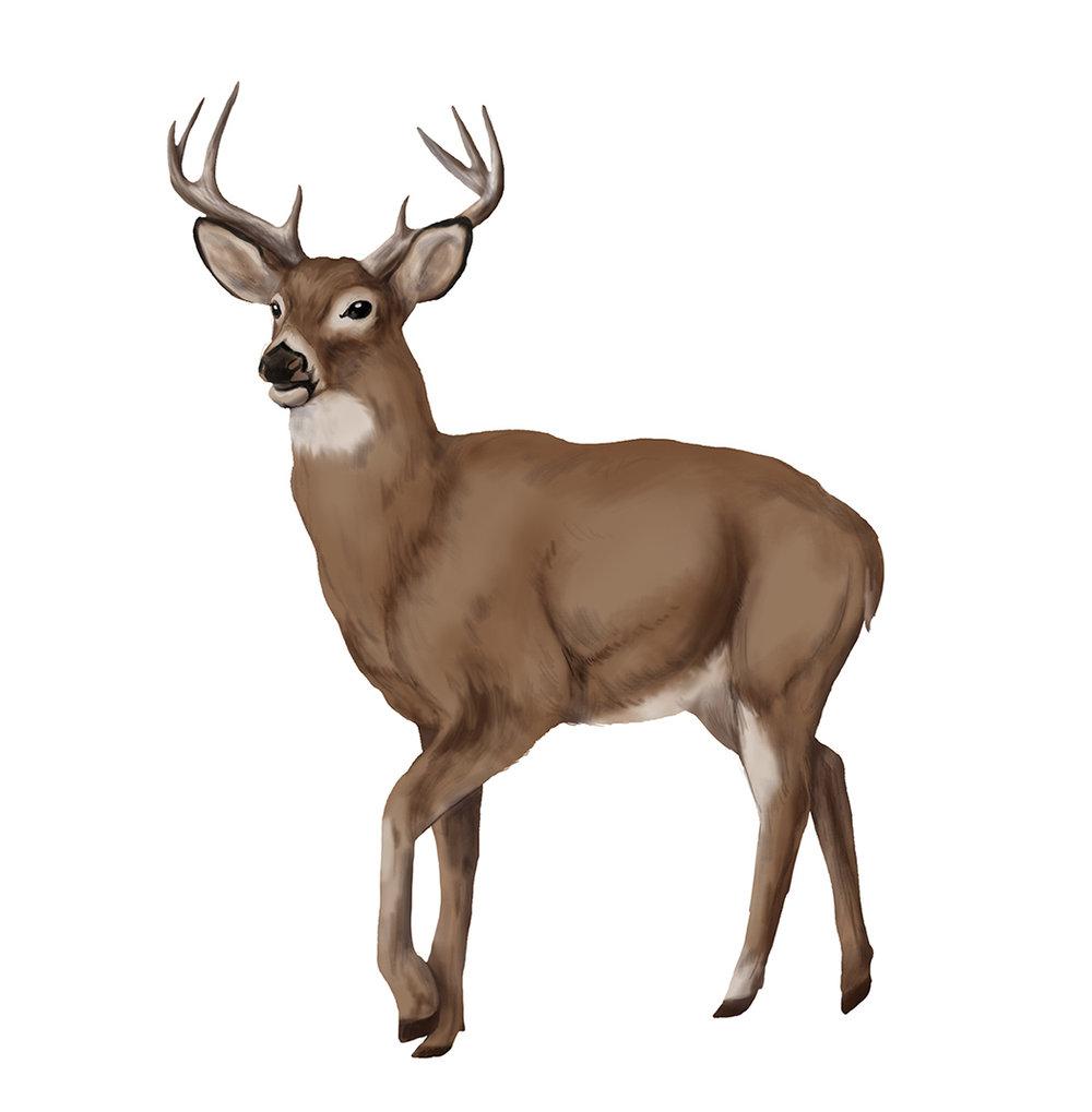 Deer_JDitner.jpg