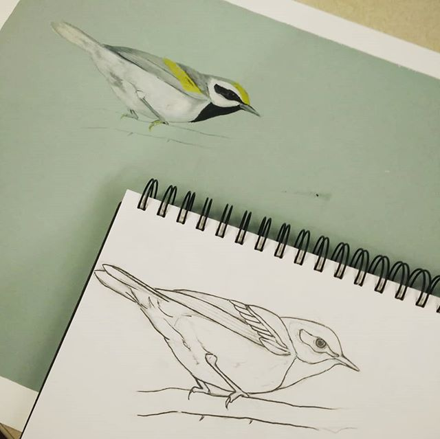 Drawing to painting of Golden-winged warbler done a while back. . . . . #birds #goache #painting #illustration #sciart #scienceillustration #warbler #birdart #ornithology #labofornithology
