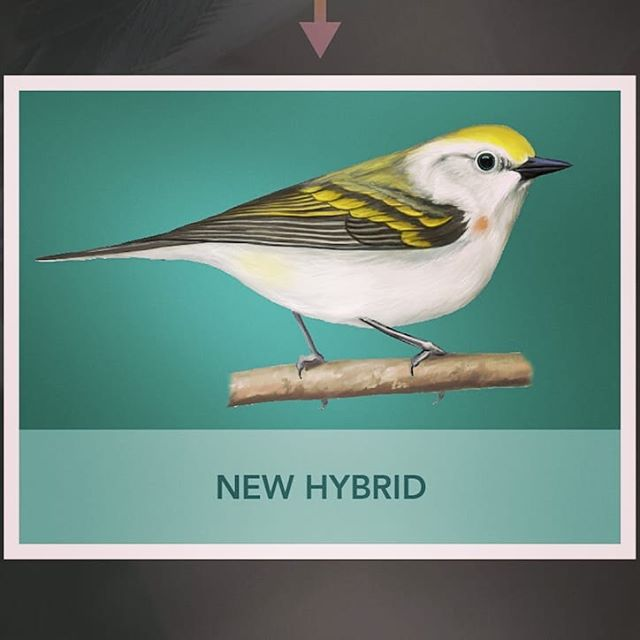 New warbler hybrid found in Pennsylvania by a citizen science effort and studied by @daaavetaaaves  I did the graphic and illo for the new Burket's warbler. Blue-winged, Golden-winged and Brewster's warblers by @lizclaytonfuller . . . #woodwarbler #warbler #bird #birdart #scicomm #graphicdesign #ornithology #birds #infographic