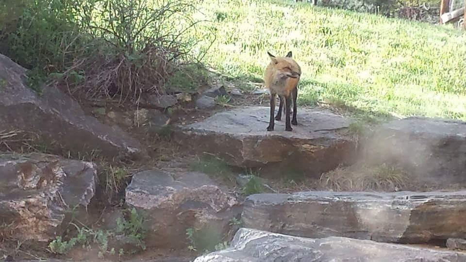 7502 Fox.jpg