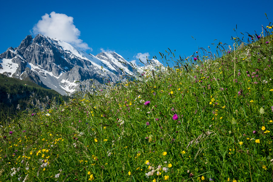 Wildflowers of Gimmelwald