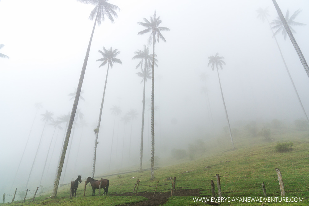 The giant wax palms of the Cocora Valley.