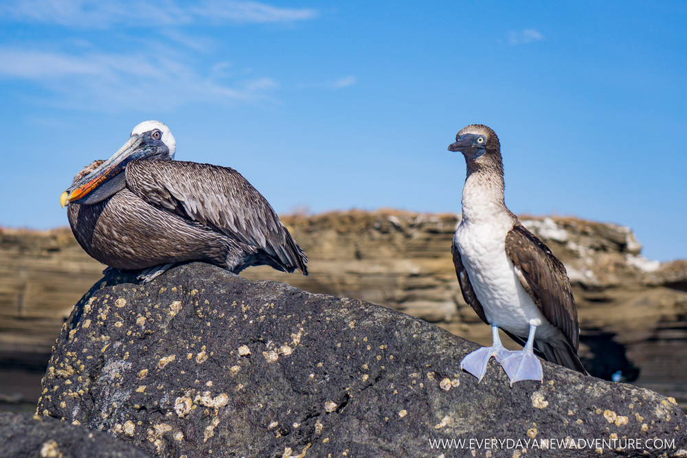 We love how stupid the Blu Footed Boobies look, especially next to the wise old pelican!