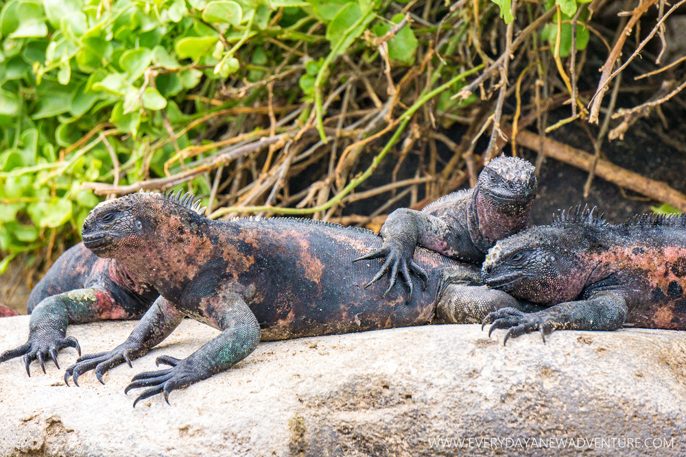 Marine iguanas are all black until mating season roles around. The more colorful they get, the closer they are to attracting a mate.