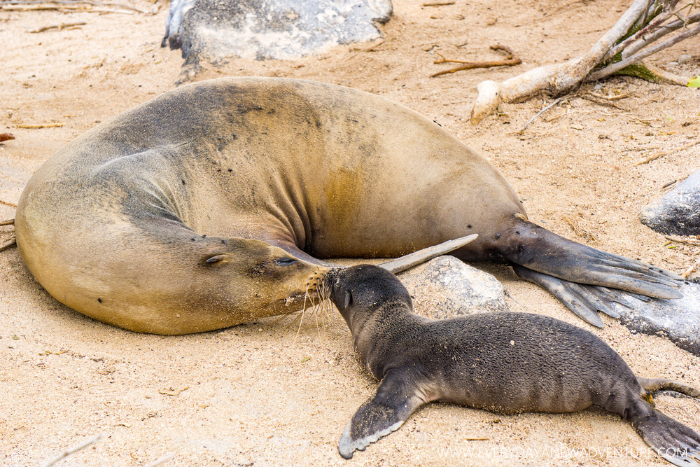 A baby sea lion getting a little smooch from mom!