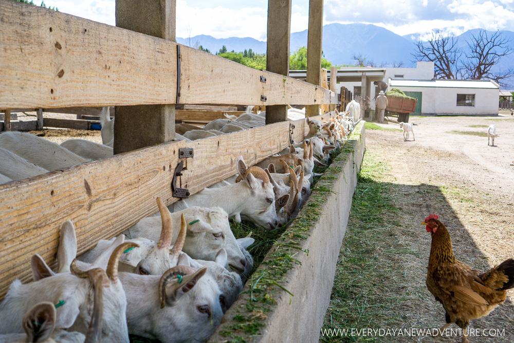 Cabras de Cafayate - The Domingos Hermanos goat farm.