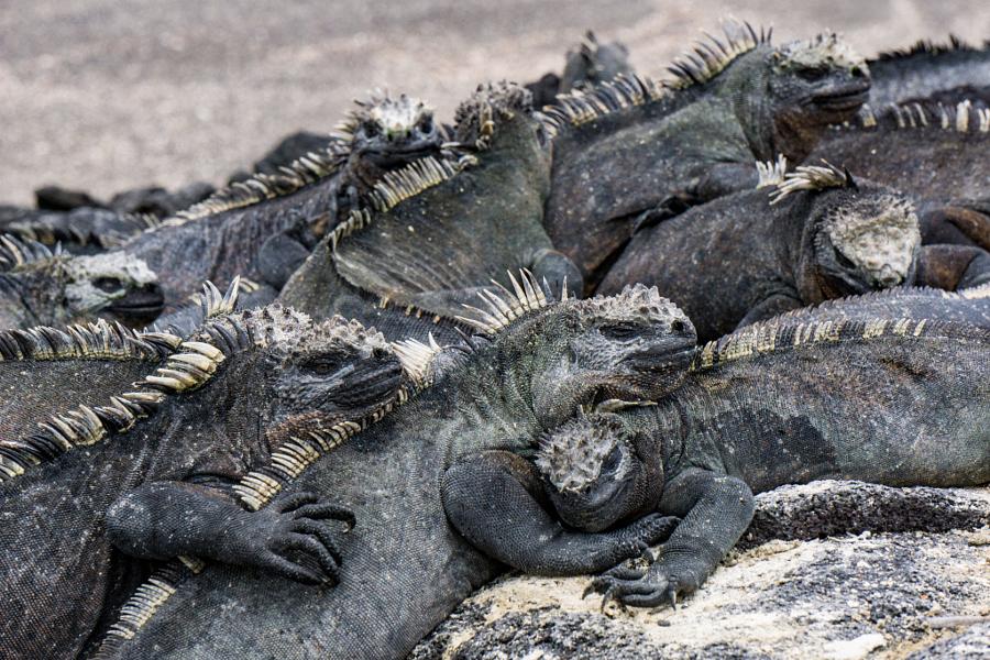 Snuggling Iguanas