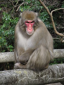 Darwin's destiny: An adult Japanese macaque