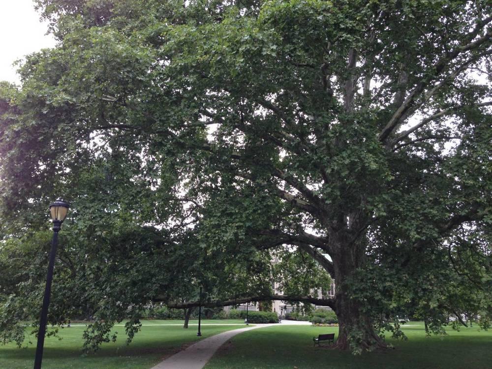 Beech Tree (standard caption)