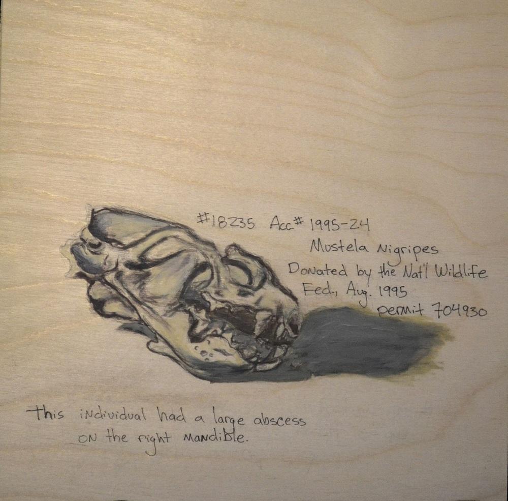 Mustela nigripes