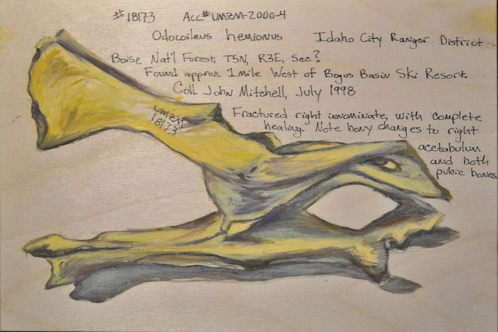 Odocoileus hemionus