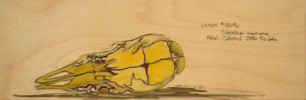 Odocoileus virginianus, II
