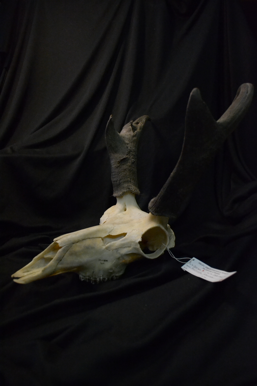American pronghorn ( Antilocapra americana).