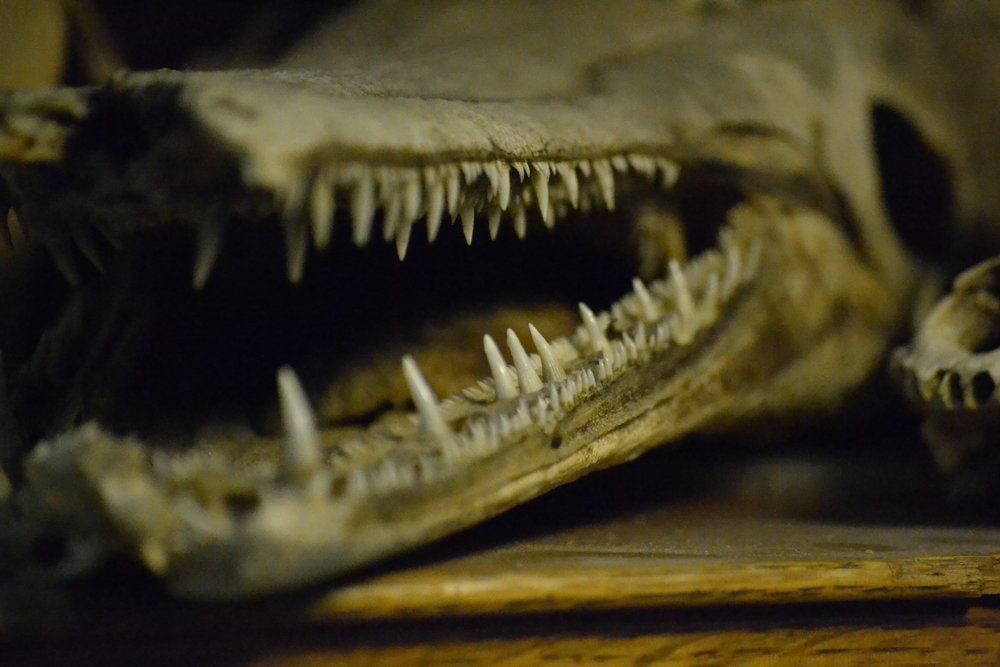 Teeth of an alligator gar   (Atractosteus spatula).