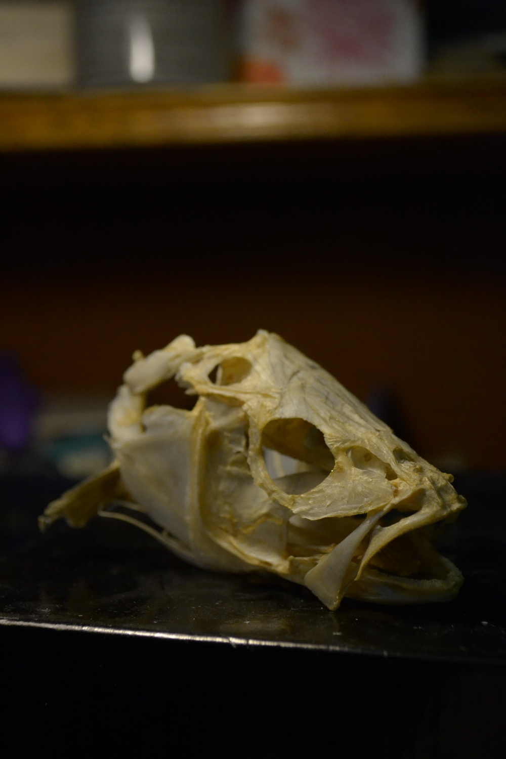 Skull of a yellow perch  (  Perca flavescens  ).