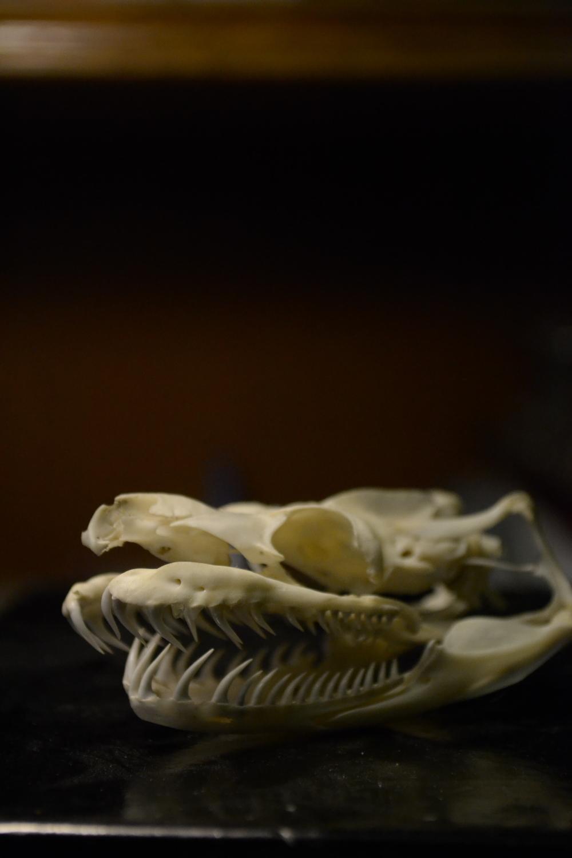Skull of a  Boa constrictor.
