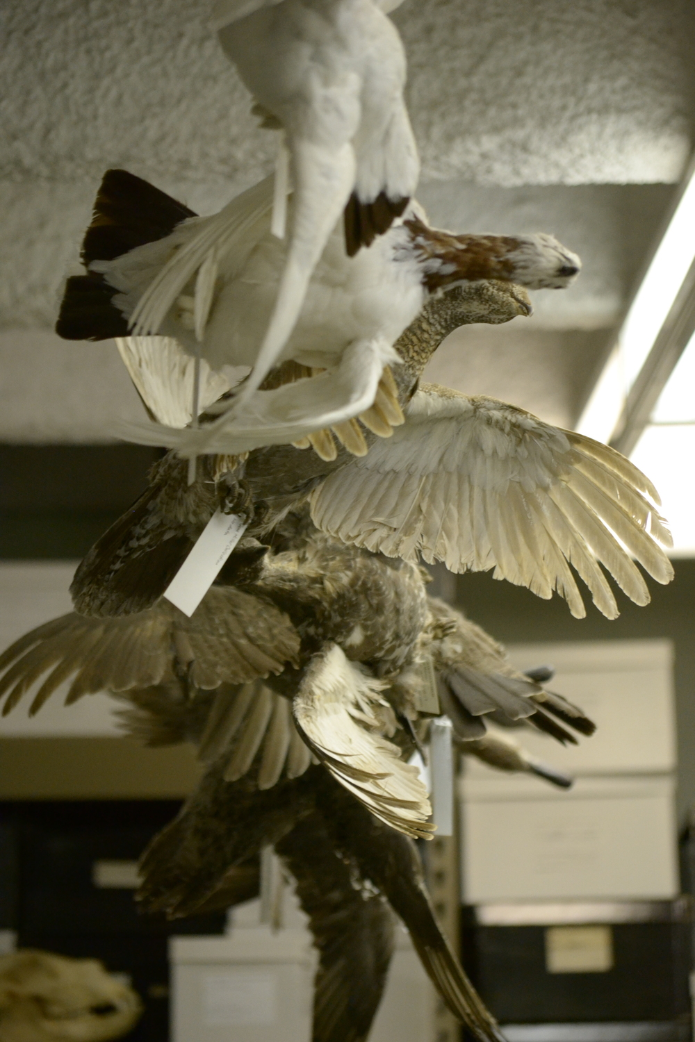 Taxidermied birds hung in the museum.