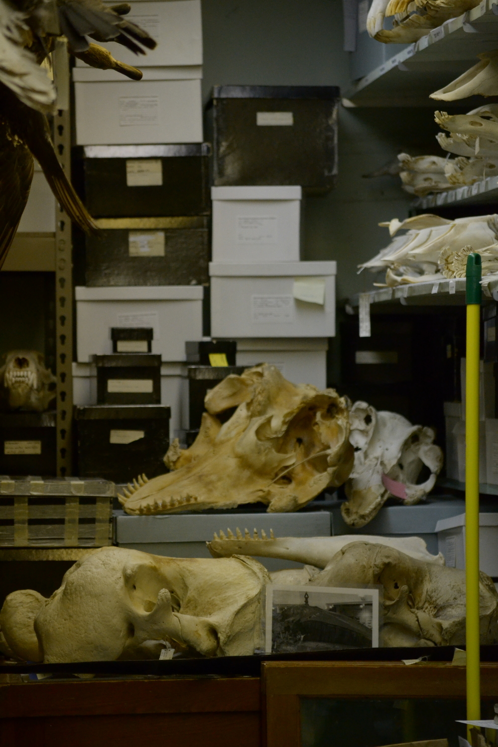 Shelves and cabinets from the UMZM. Pilot whale and walrus skulls in the foreground.