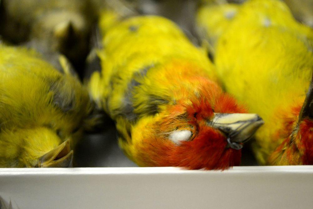 Western tanagers ( Piranga ludoviciana).