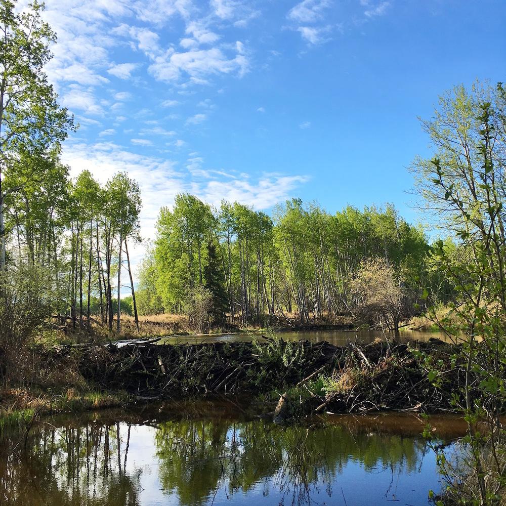 The beaver dam.