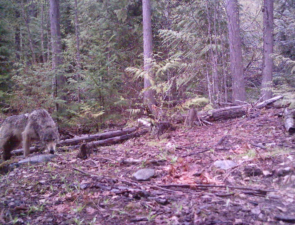 A trail camera captures an image of a wolf in the South Selkirk.