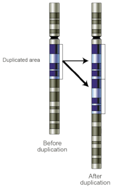 Figure 1. A tandem duplication, which is one of many types of CNVs. Image Source