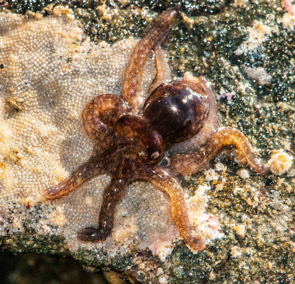 Last year, the octopus (  Octopus bimaculoides  ) was added to the growing list of organisms whose genome sequence is known.     Image   Source