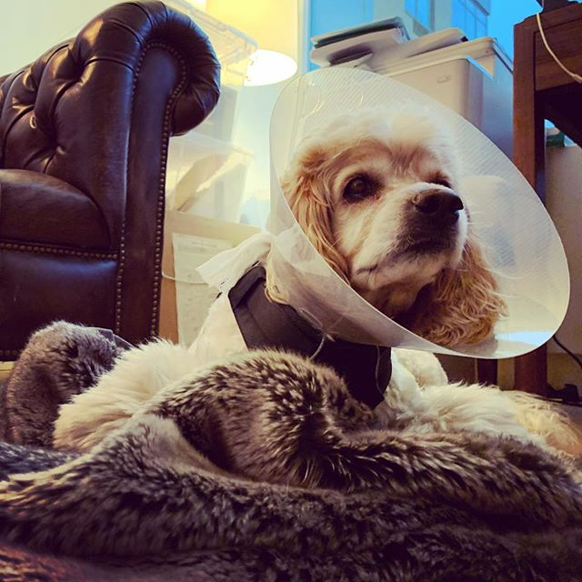 After we cut the cord earlier this year, we needed an inventive setup to get #rupaulsdragrace all stars in real time. Not a bad 📡 if you dont mind the licking. @michellevisage #dogstagram #gaydogdad #cockerspaniel