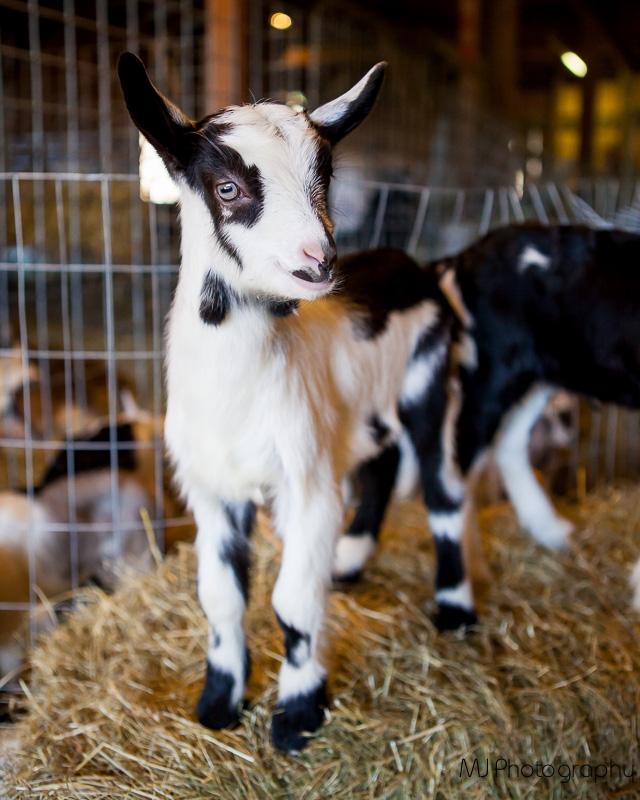 mystery-bay-goat-farm-olympic-peninsula