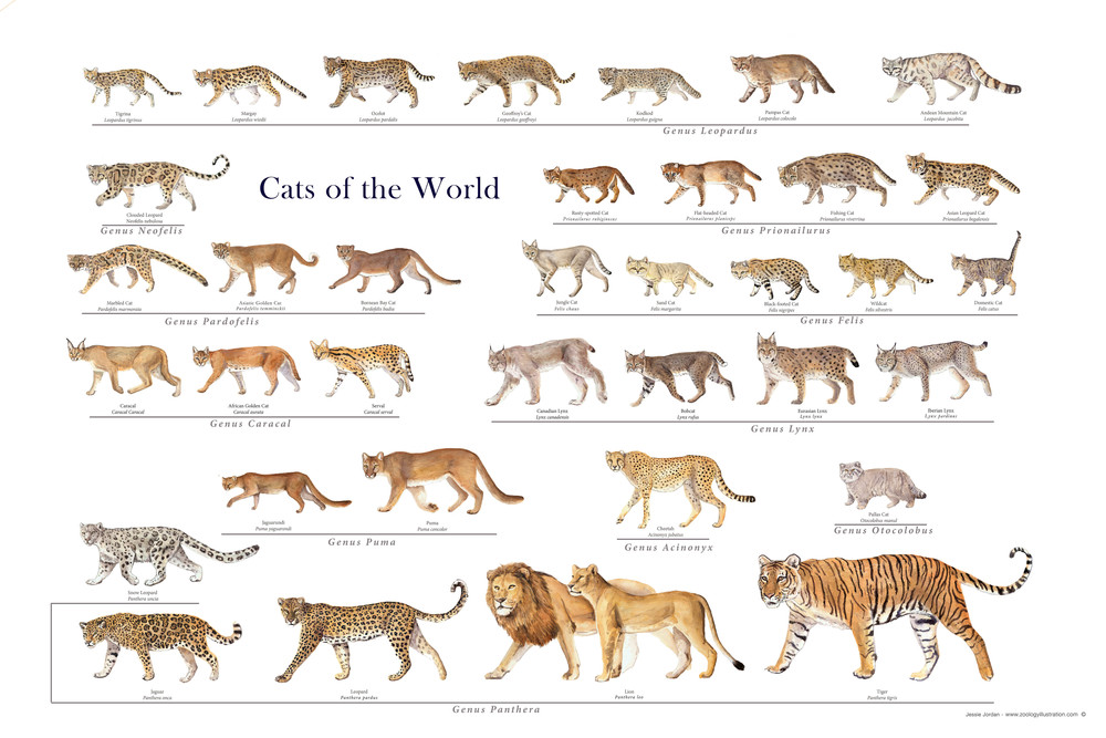 a description of the cat family felidae order carnivora Domestic cat felis catus order: carnivora family: felidae for specific findings of the seasonality and the entrainment of cycles in this endangered species, with their effect on estrogen and progesterone section, the extensive description by these authors need to be read.