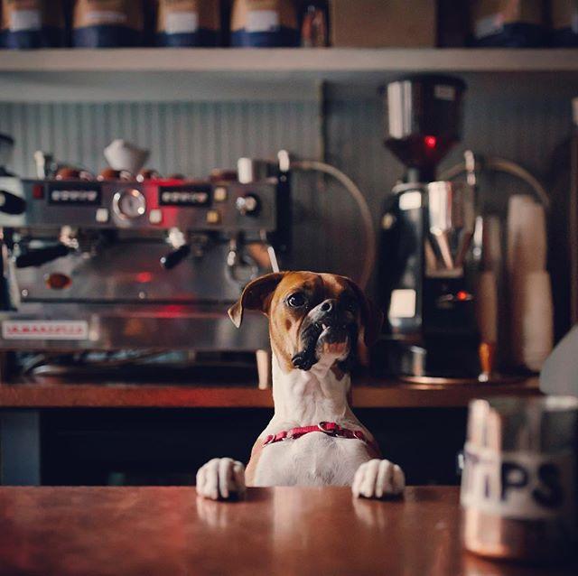 We take dog friendly to another level #stonestreetcoffeecompany . . . . #boxersofinstagram #coffee #morningcoffee #dogfriendly #thirsty