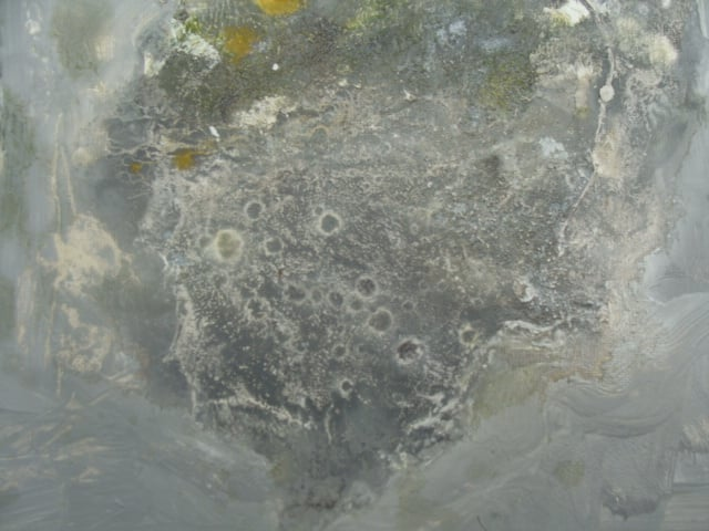Lichen (grey) i
