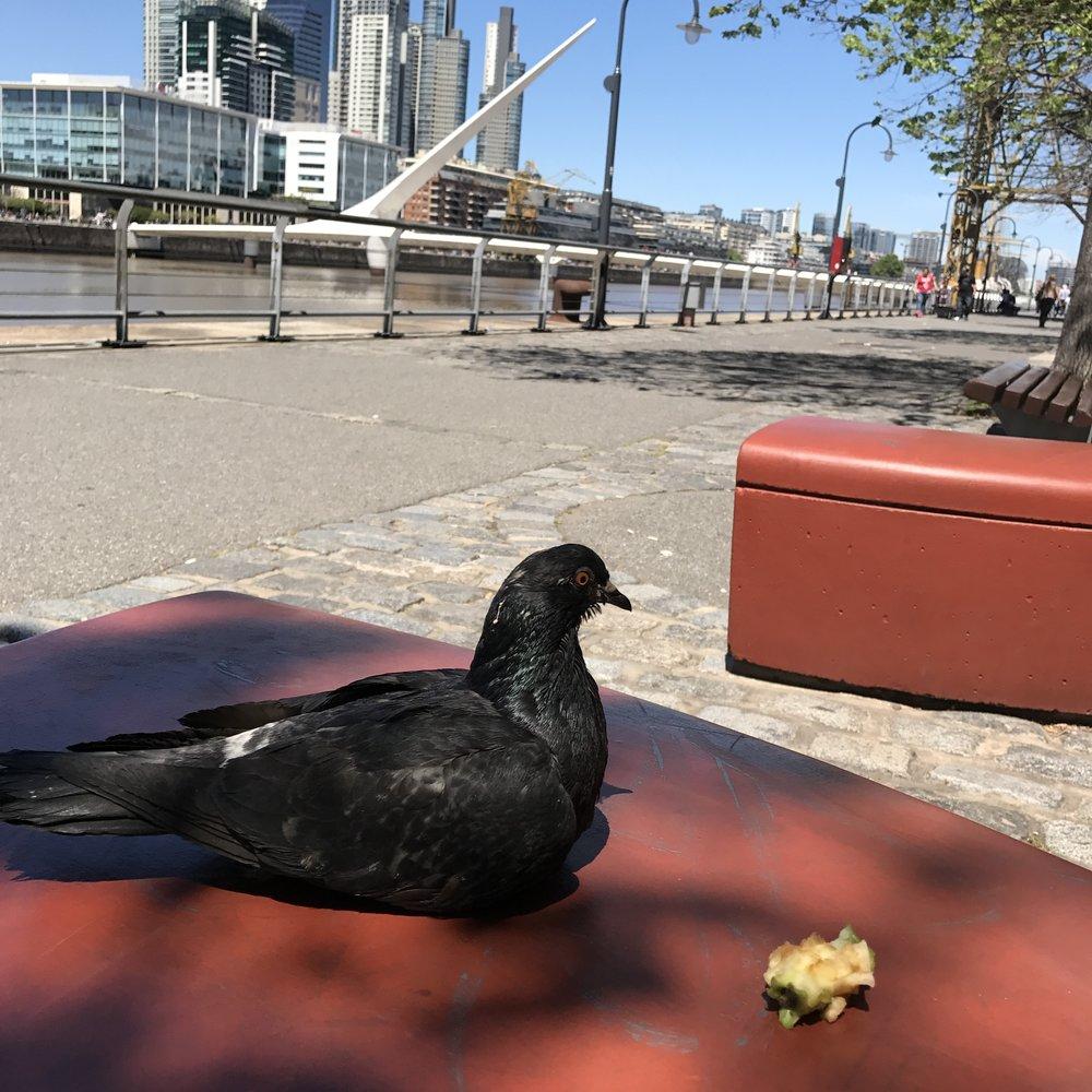 Hi pigeon!