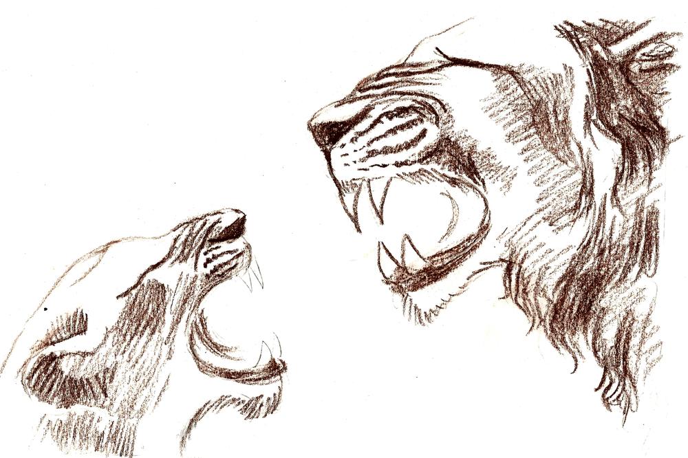étude de lions rugissants.jpg