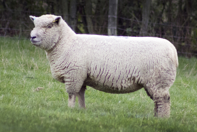 SOUTHDOWN GEMS SPARKLE AT NEWARK — Southdown Sheep Society