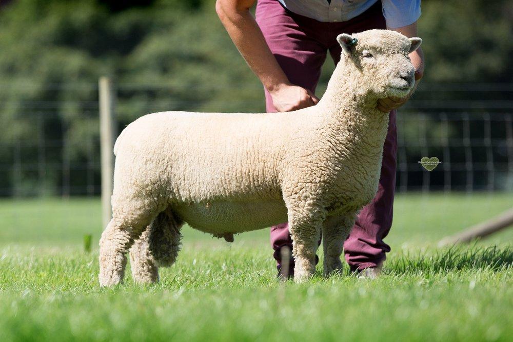 Ram lamb class 1.jpg