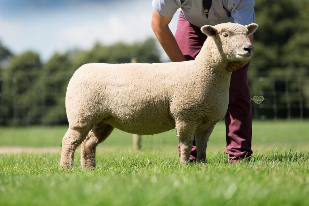 Shearling ewe small flock.jpg
