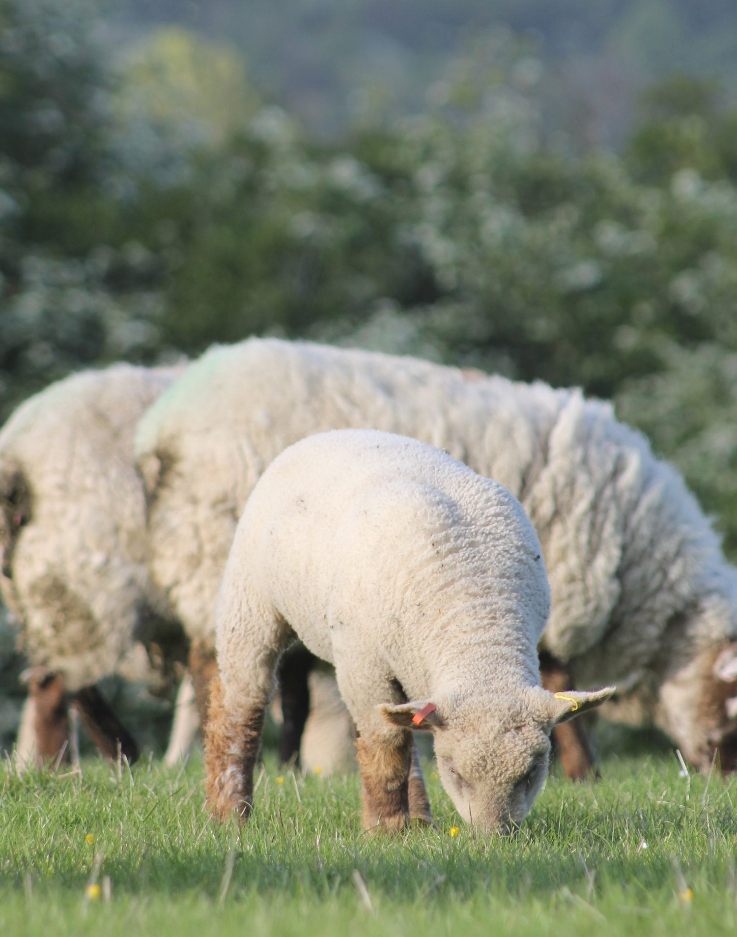 Southdown proves the ideal sire for ewe lambs — Southdown
